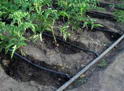 Система капельного полива в огороде